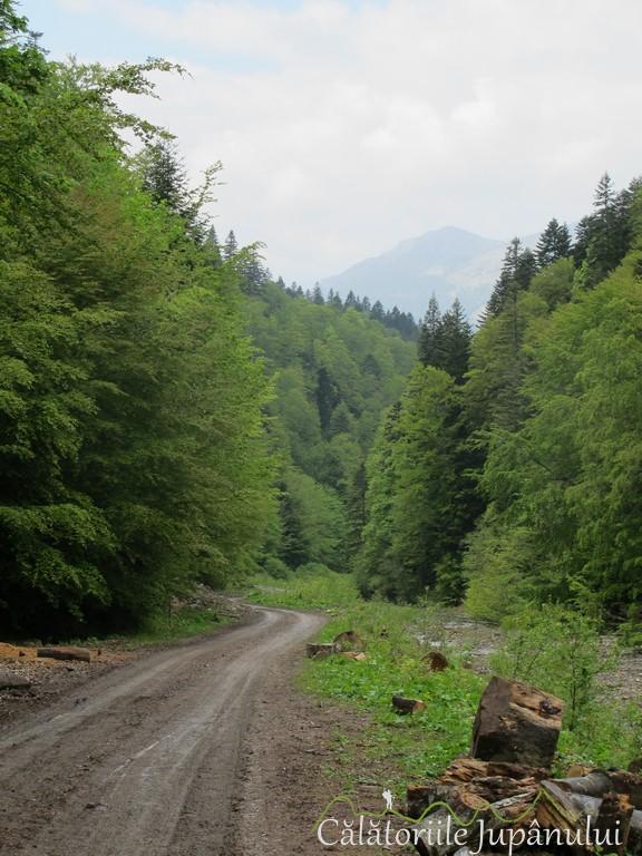 Poiana cu narcise - Valea Rea 042