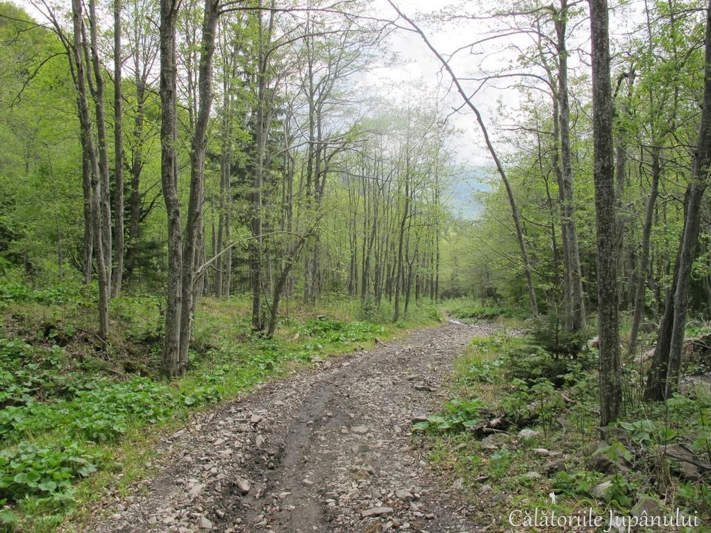Poiana cu narcise - Valea Rea 096